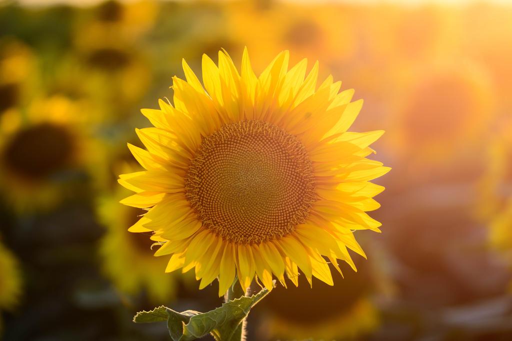 SunFlower by Puiu-Cristian