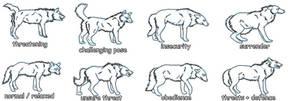 Wolf behavior refferences