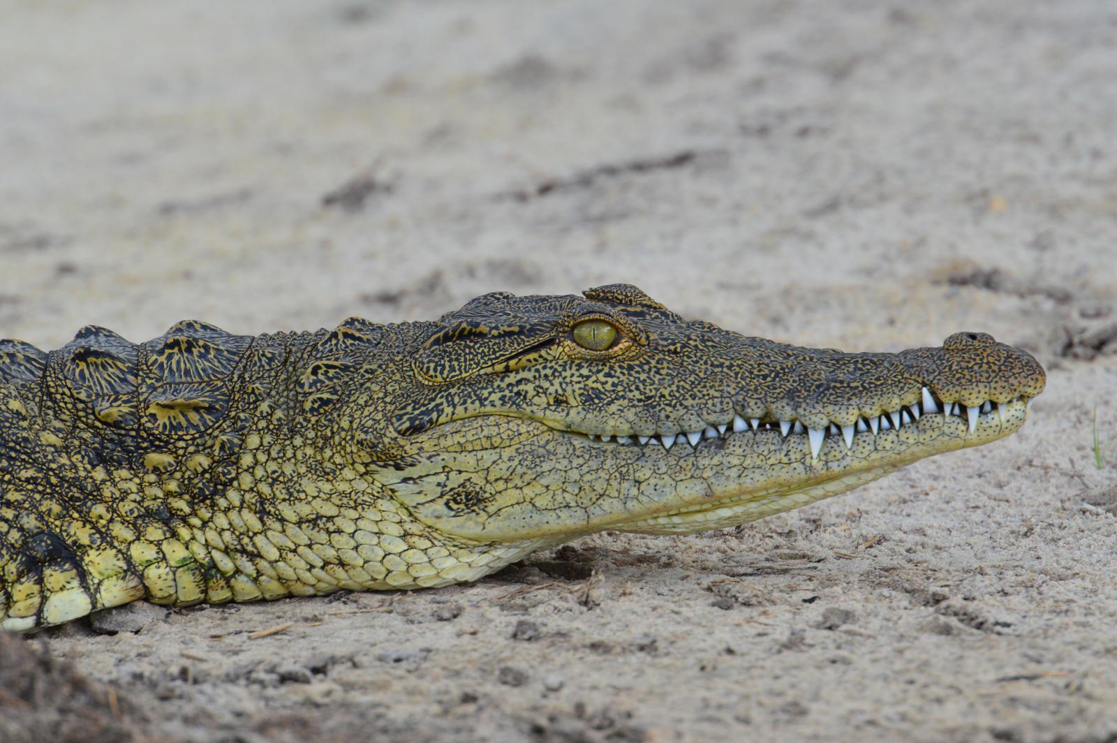 Nile Crocodile Nile Crocodile Juvenile by
