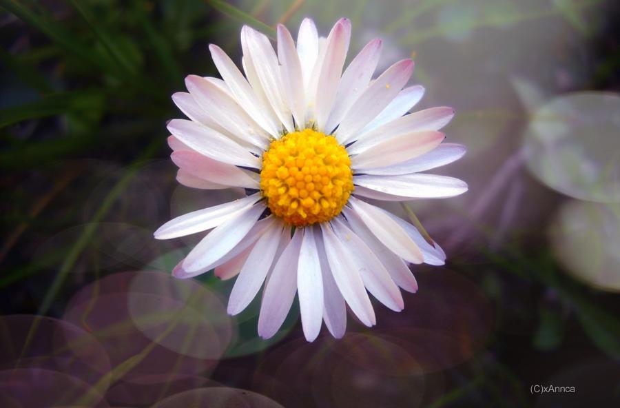 Daisy by xAnnca
