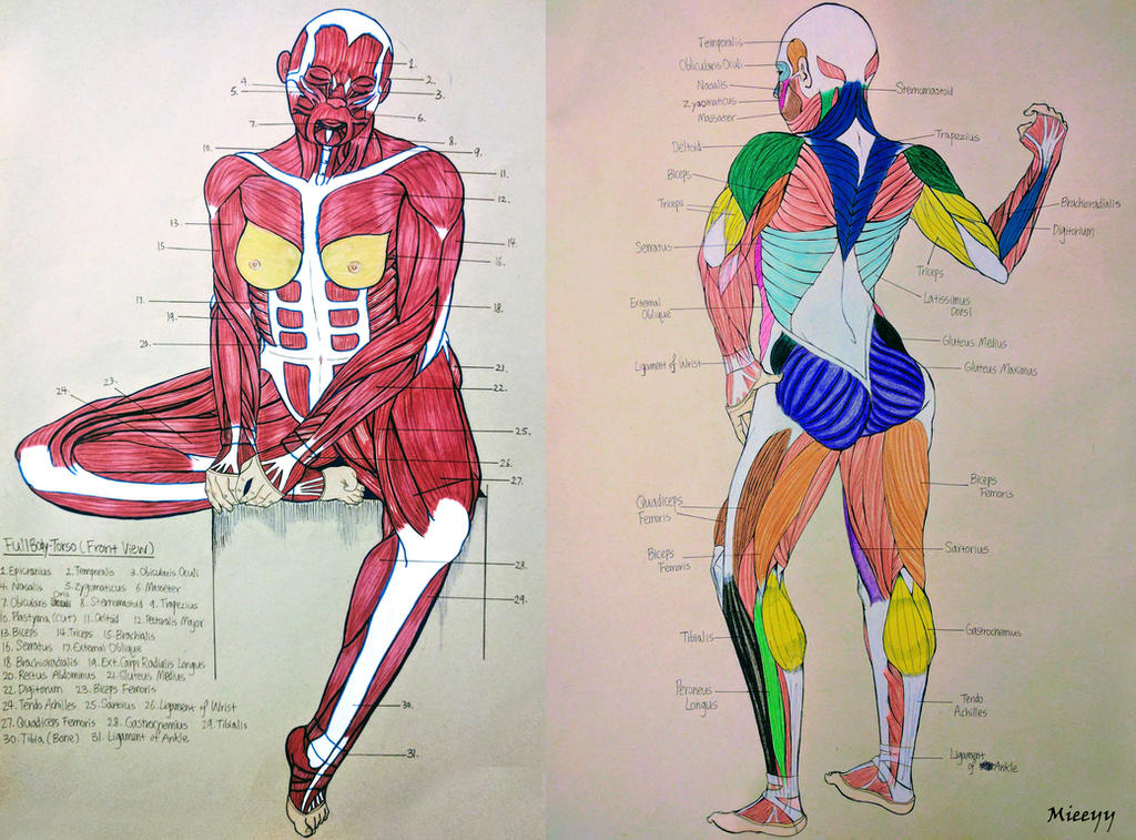 FullBody Muscle Anatomy for Artist (Front and Back by zchenz on ...