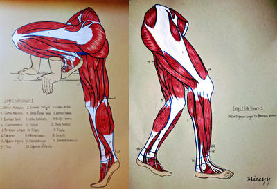 Leg Muscle Anatomy For Artist By Zchenz On Deviantart