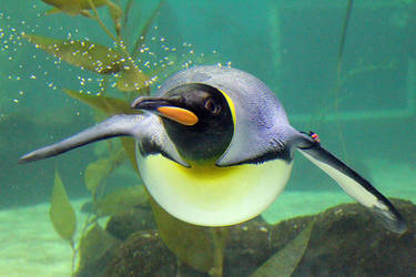 King Penguin 2 by ScurvySimon