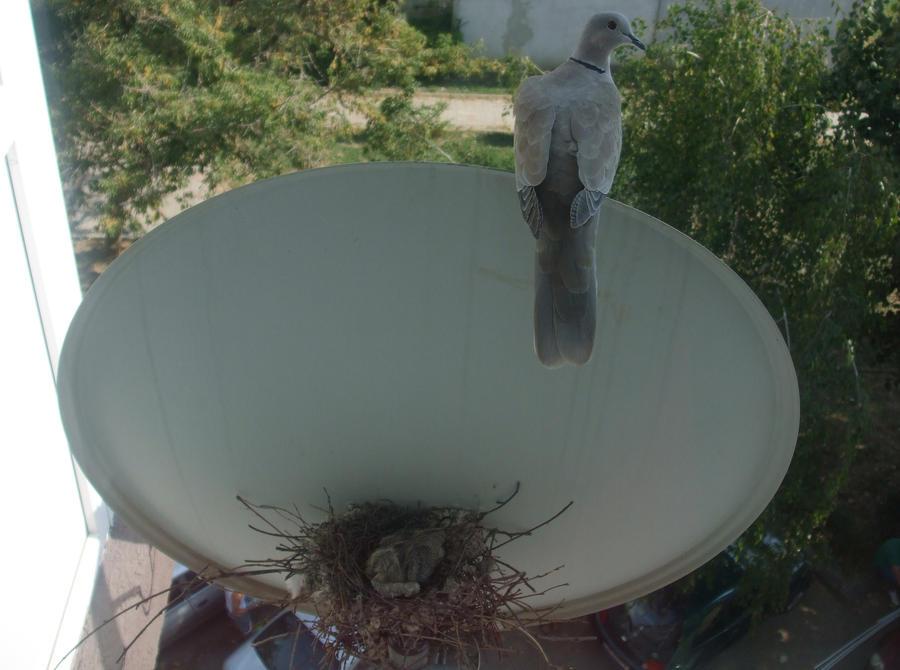 Cuib de gugustiuci / Pigeon nest by Maysa2010