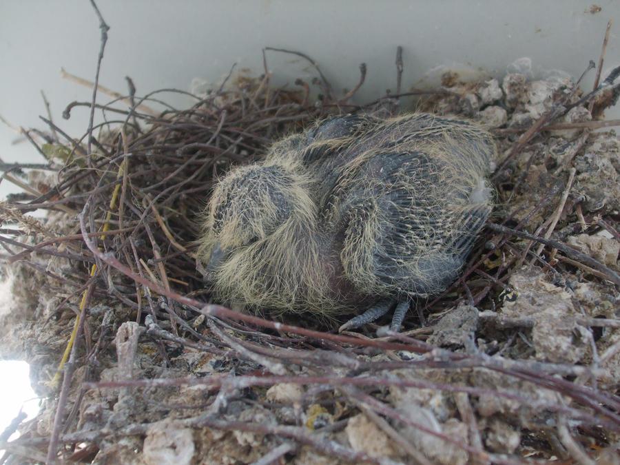 Baby Pigeon / Cuib de gugustiuc by Maysa2010