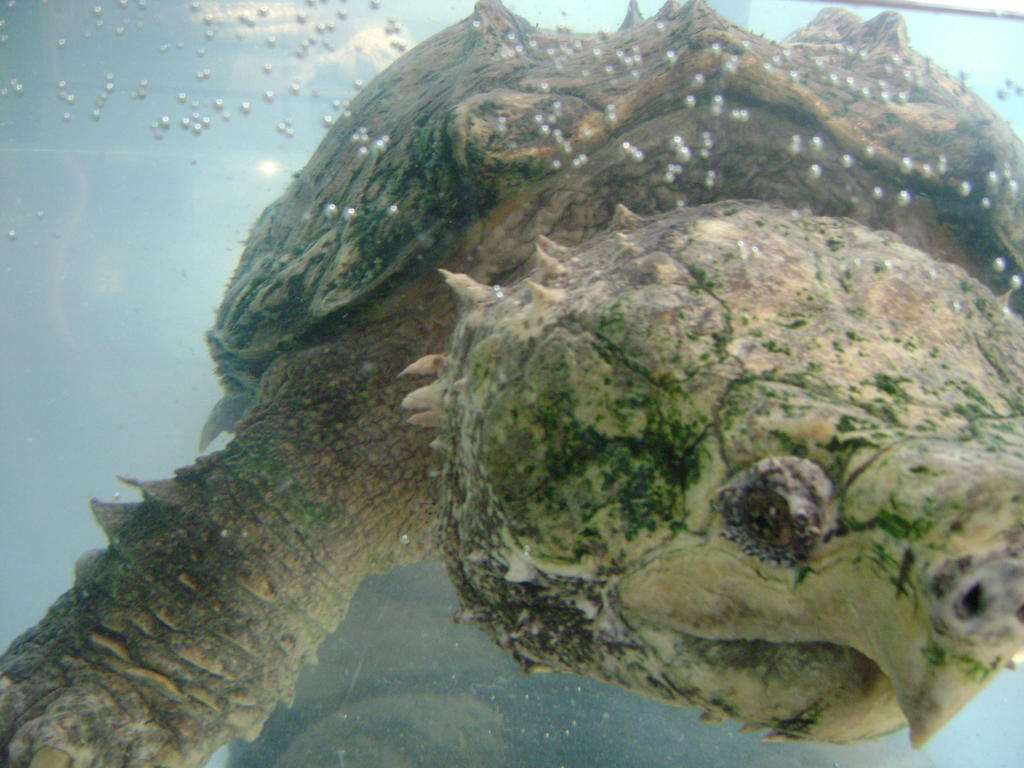 Giant freshwater turtle