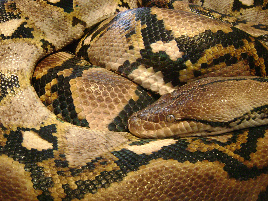 Baby Reticulated Python Reticulated python by laura-