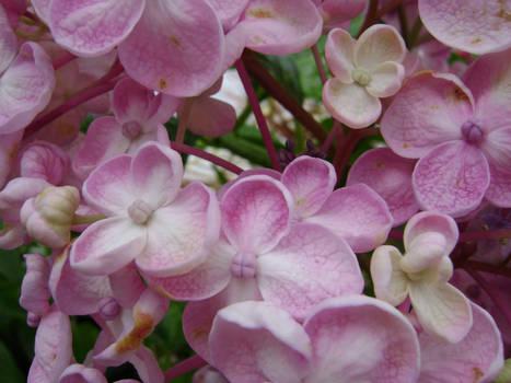H. Macrophylla