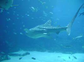 Whale Shark by laura-worldwide