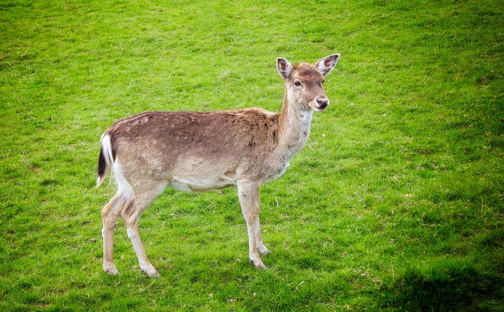 Deer by tonyrabina