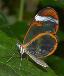 Glasswing Butterfly by WickedWelshy