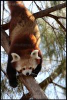 Red Panda 2688 by Chi-Akuryou