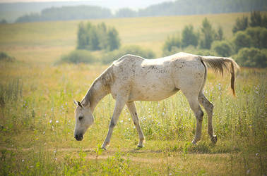 Grey horse in golden morning sun