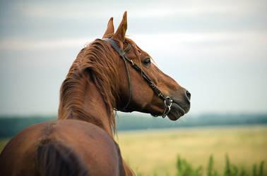 The portrait of the stallion