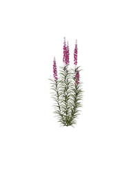 fireweeds 2