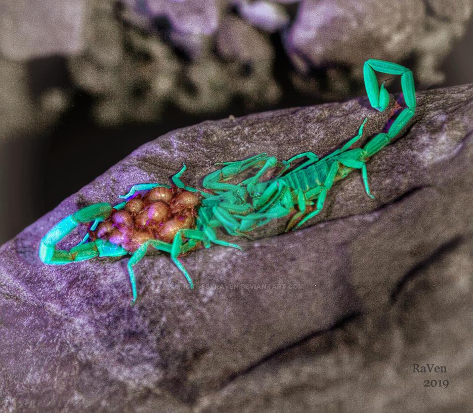 Arizona bark scorpion (centruroides sculpturatus)  by