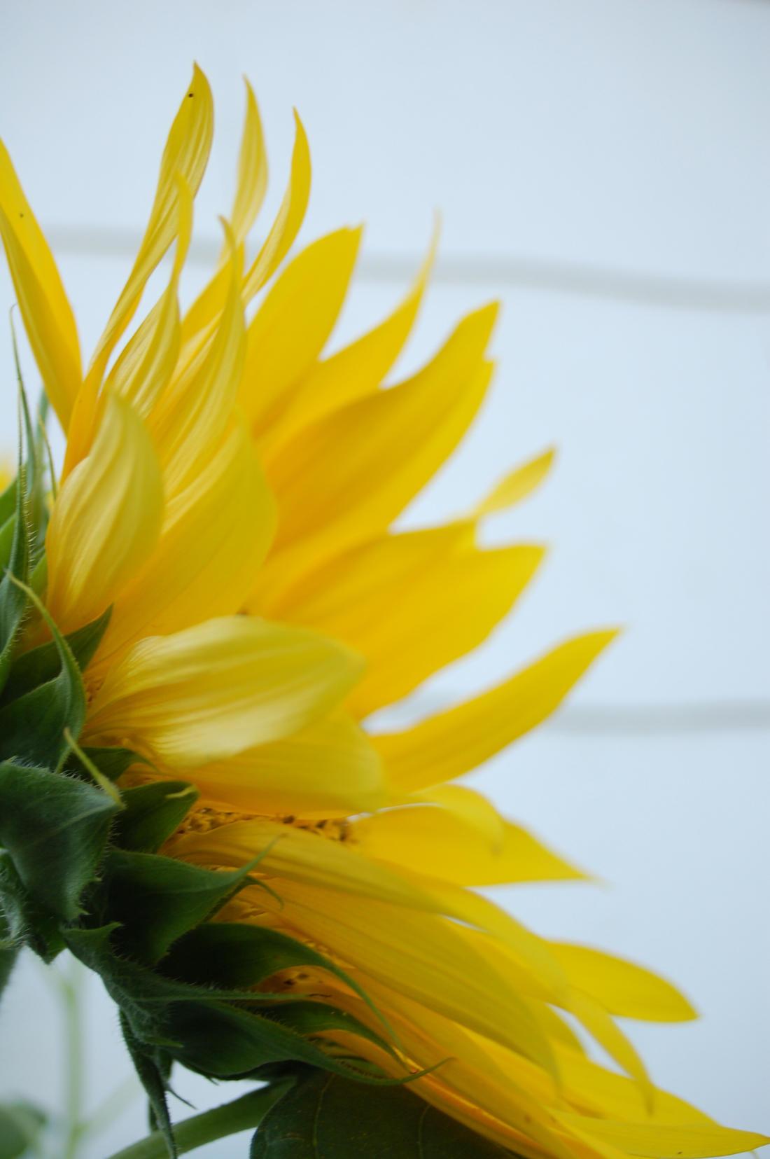 Sunflower Side by jrbamberg