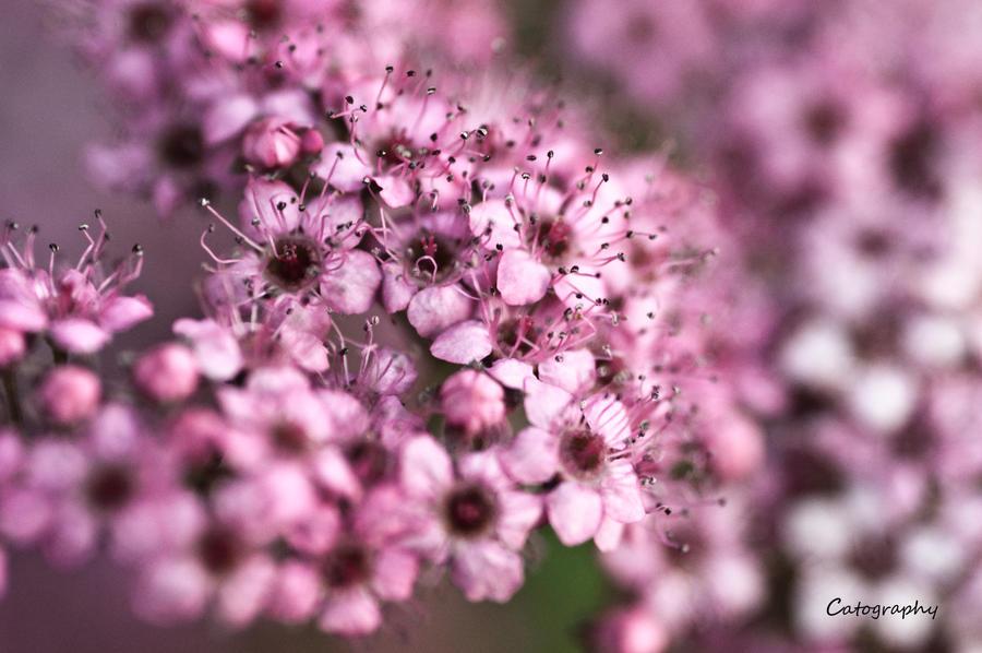 Softly Pink by jenepooh