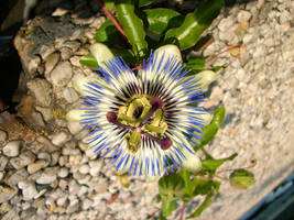 Passion Flower VI by Calyses