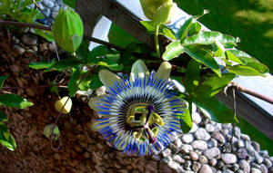 Passion Flower VII by Calyses