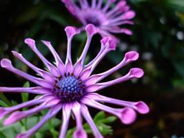 purple star by bing4288