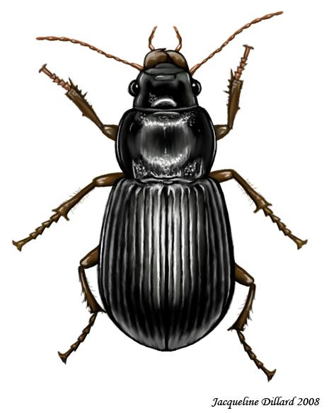 Carabidae Carabidae by...