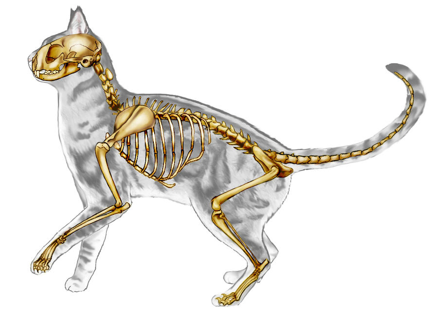 Cat Skeletal Anatomy by JacquelineRae on DeviantArt