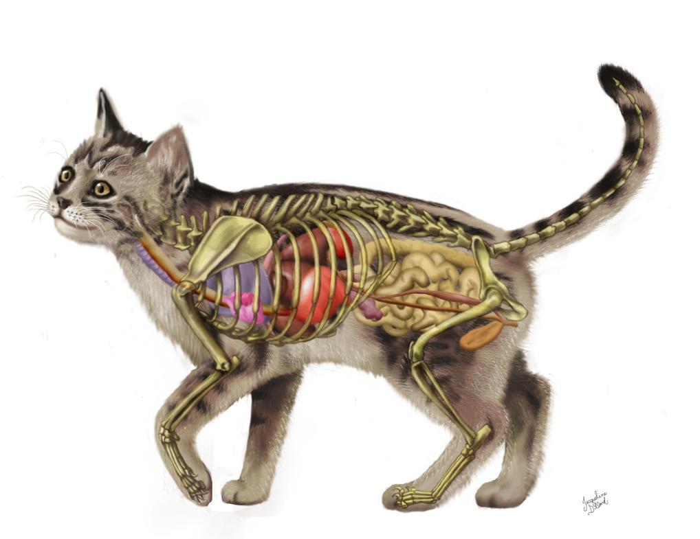 Anatomy of cat