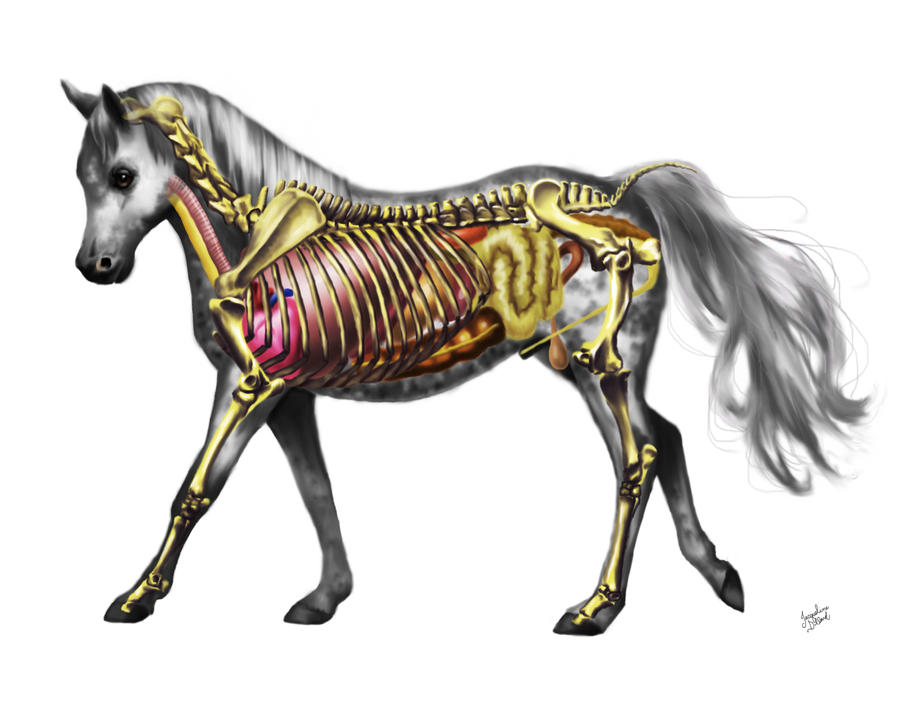 Horse Anatomy by JacquelineRae on DeviantArt