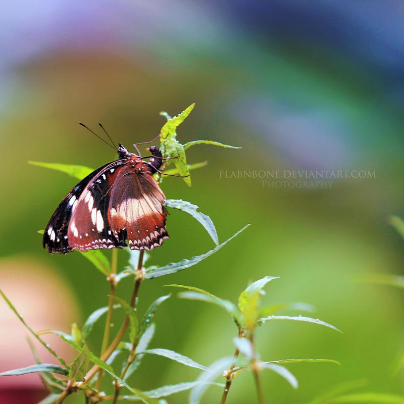 Butterfly II by FlabnBone
