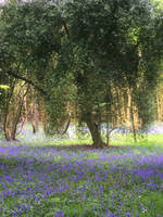 Tree in Bluebell Wood by jenny4
