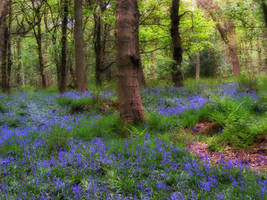 Bluebell Woodland by jenny4