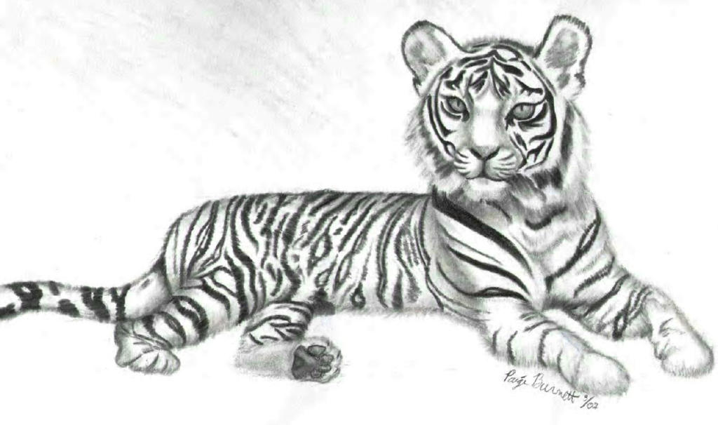 Simple White Tiger Drawings White tiger sketch byWhite Tiger Drawings