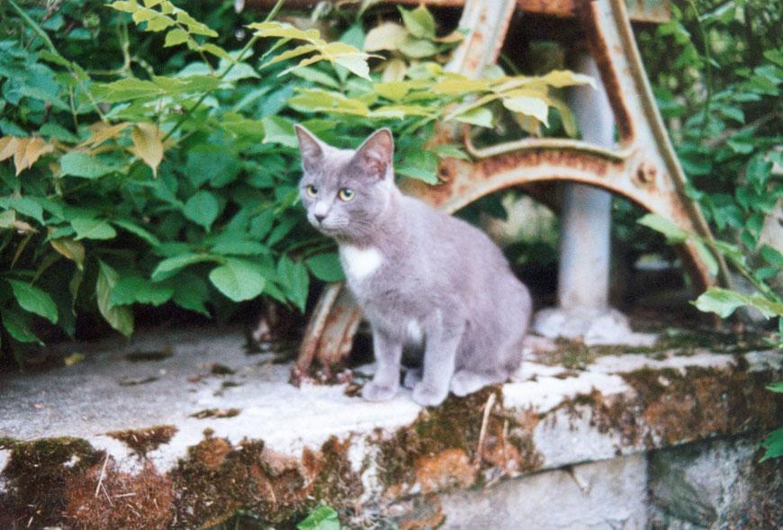 Young Wasabi - the blue-grey cat by Kakhi-dot-dot-dot