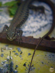 Lizard by Olivier-G