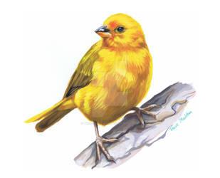 Wild Canary. by TracieMacVean