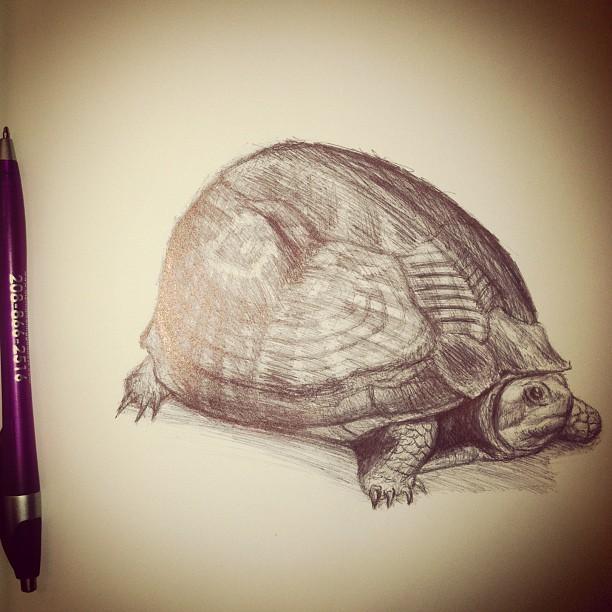 florida box turtle pen drawing by mikemonty on deviantart