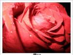 Rose by cg-design