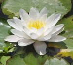 White Lotus by lunatofu
