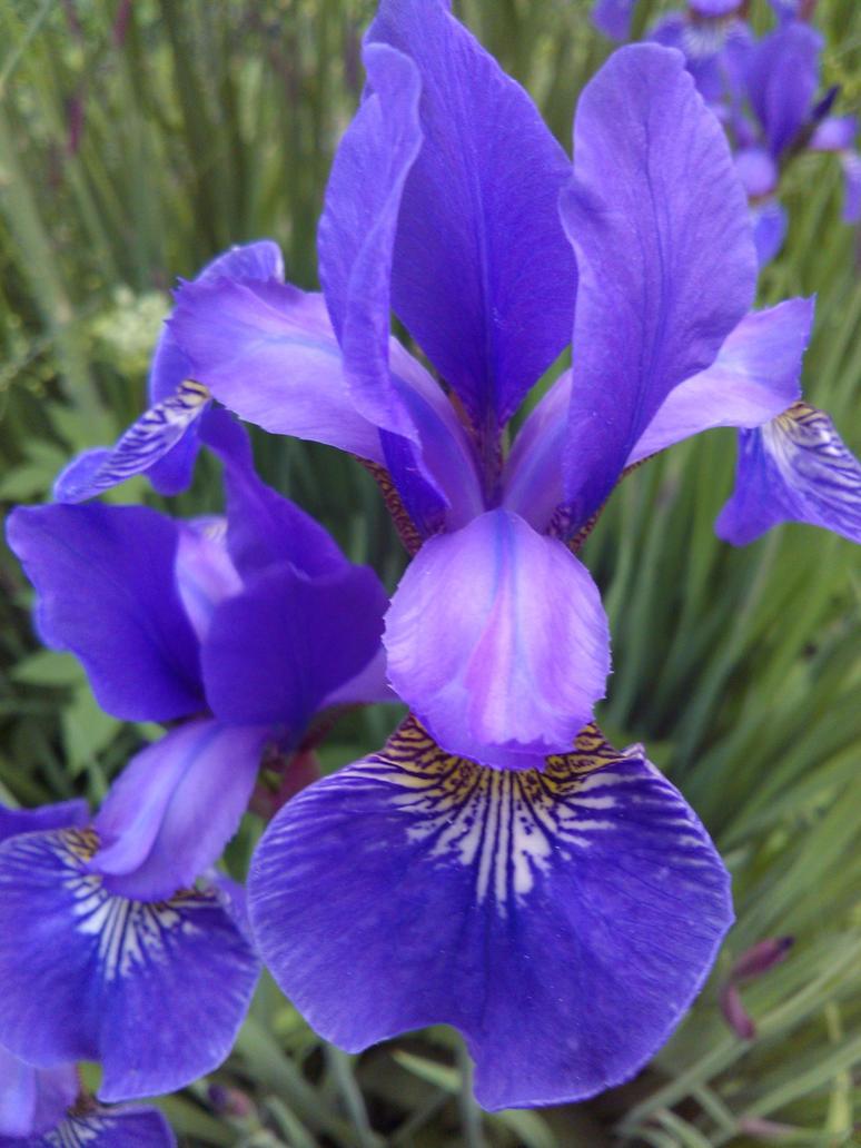 iris by Mirukoo