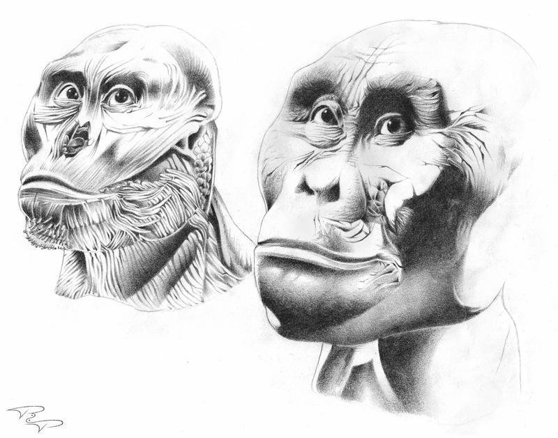 Gorilla__s_anatomy_by_Richeart.jpg (800×629) | GORILLA ANATOMY ...