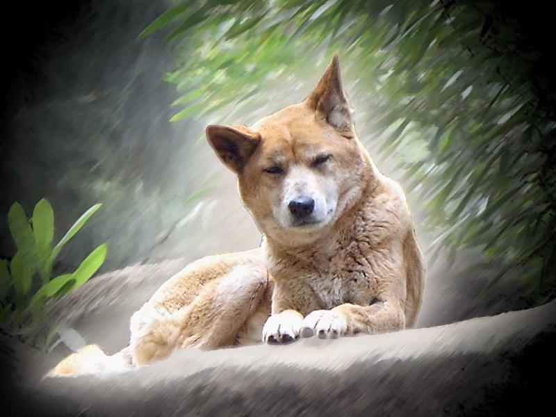 Dingo by jmecor64