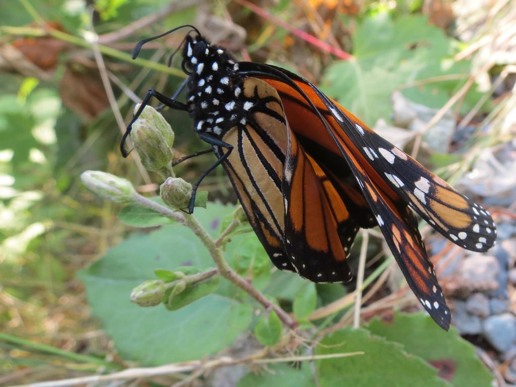 butterfly unfolding by doctorwhonicorn