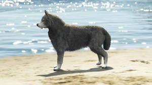 Husky On The Beach.
