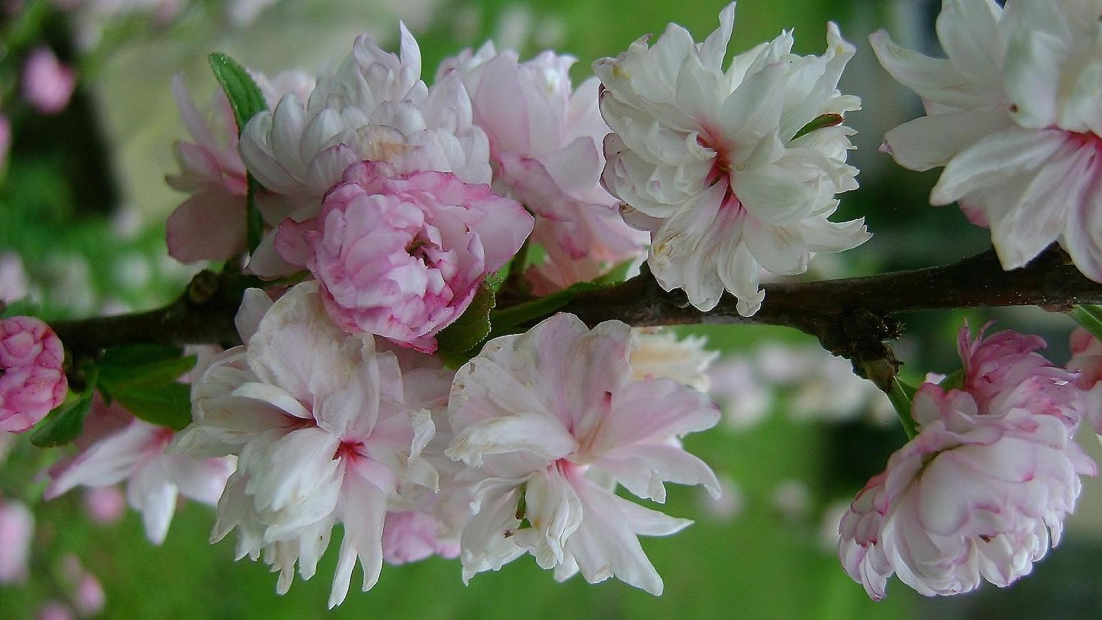 Flowering Almond Tree by phootyraskel on DeviantArt