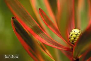 Leucadendron by linda-Bee