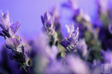 Lavender by linda-Bee