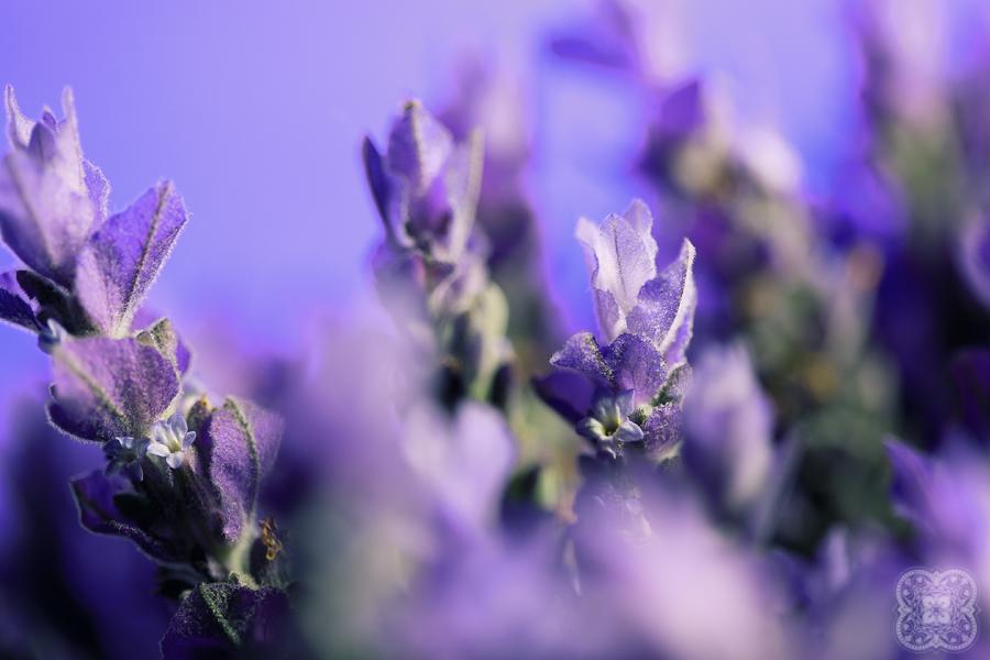 Lavender by linda-Bee