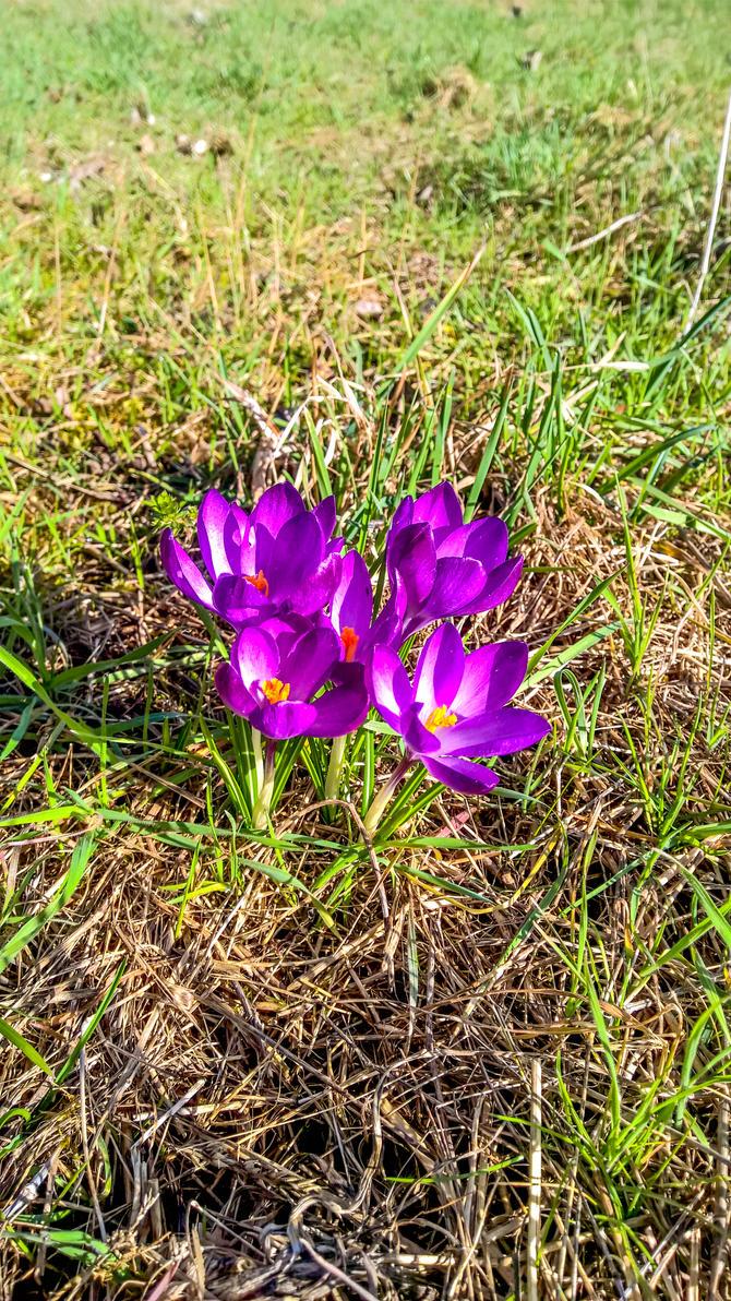 Violet Crocus by megadantron