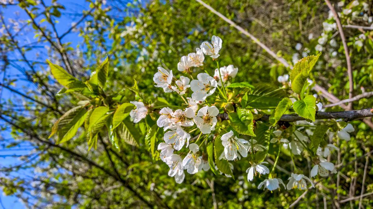 Spring Cherry Blossom by megadantron